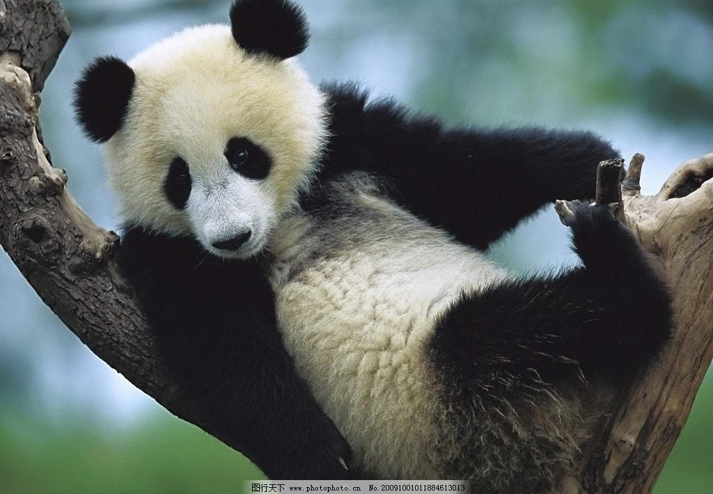 熊猫摄影 熊猫摄影图片免费下载 壁纸 动物 高清晰 昆虫 墙纸