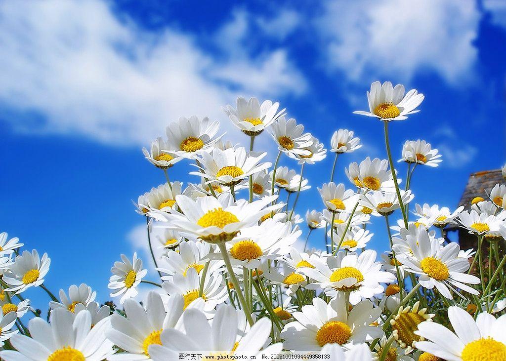 迷人野花 蓝天 白云 漂亮白菊花 迷人风景 山水风景 自然景观 摄影