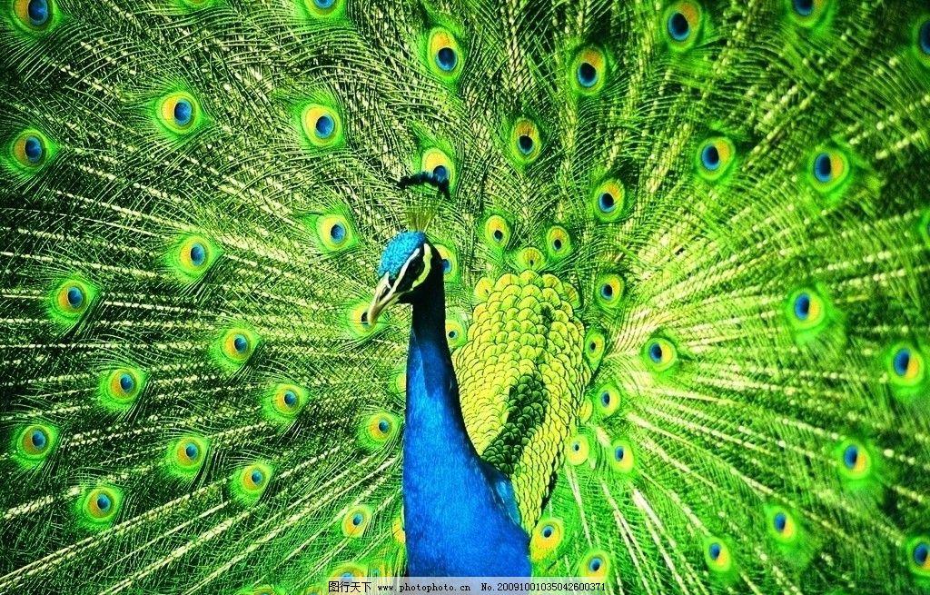 孔雀 孔雀开屏 鸟类 动物世界 野生动物 生物世界 摄影