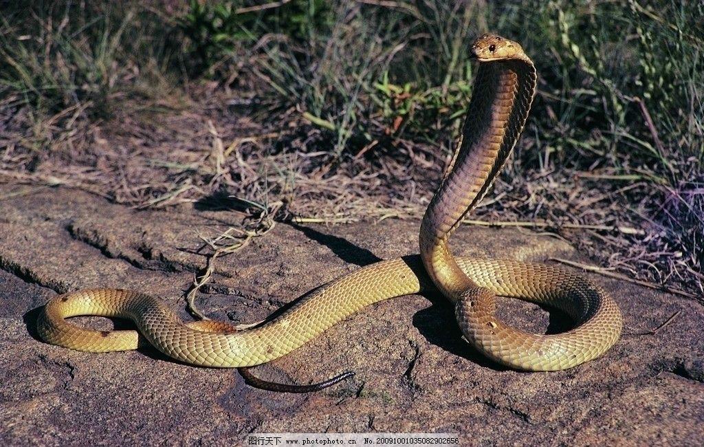眼镜蛇 蛇类 爬行动物 野生动物 动物世界 生物世界 摄影 305dpi jpg