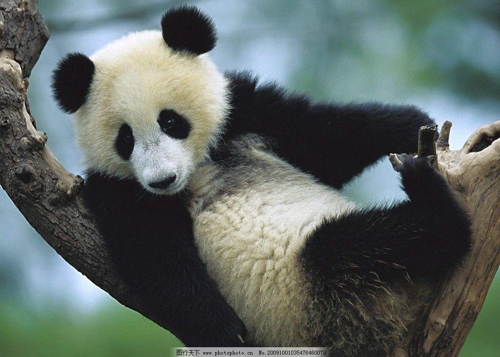 熊猫摄影 高清晰 动物 桌面 墙纸 壁纸 写真 高清动物写真 昆虫 生物