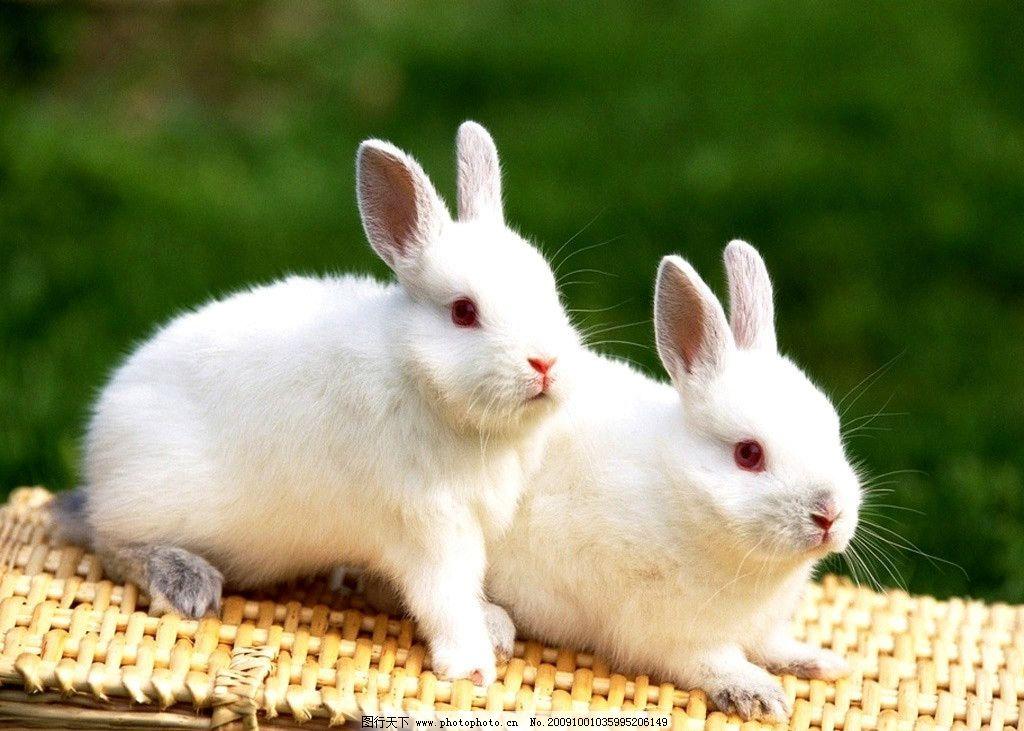 小白兔 兔子 家畜 摄影 家禽家畜 生物世界 100dpi jpg