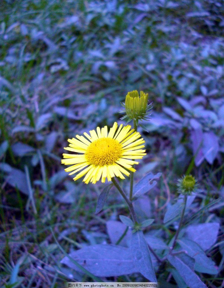 小雏菊 黄色 花 傍晚 植物花 自然风景 自然景观 摄影 72dpi jpg
