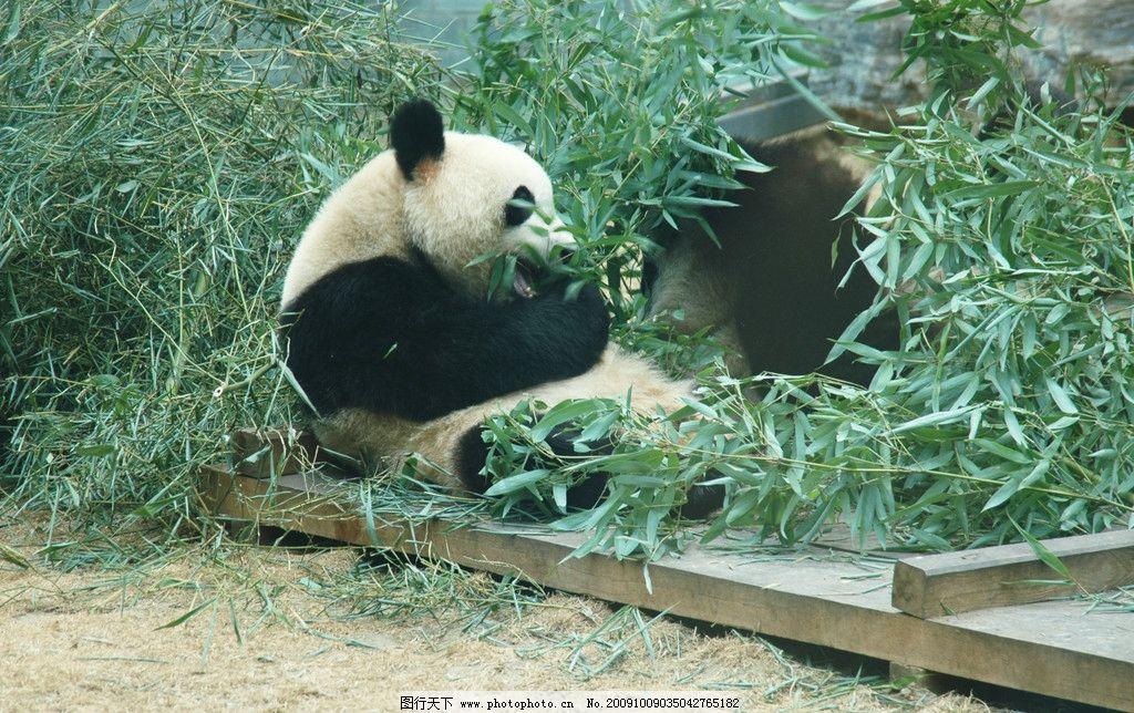 熊猫 进食 竹叶 野生动物 生物世界 摄影 300dpi jpg