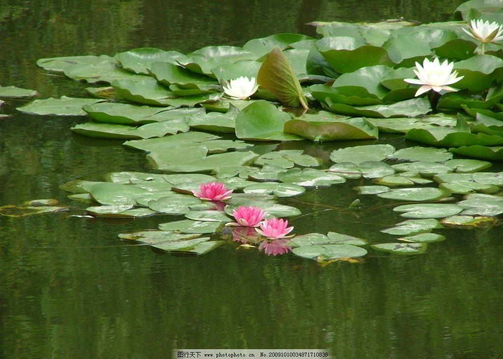 池塘 荷花 荷叶 莲花 自然风景 自然景观 摄影 72dpi jpg