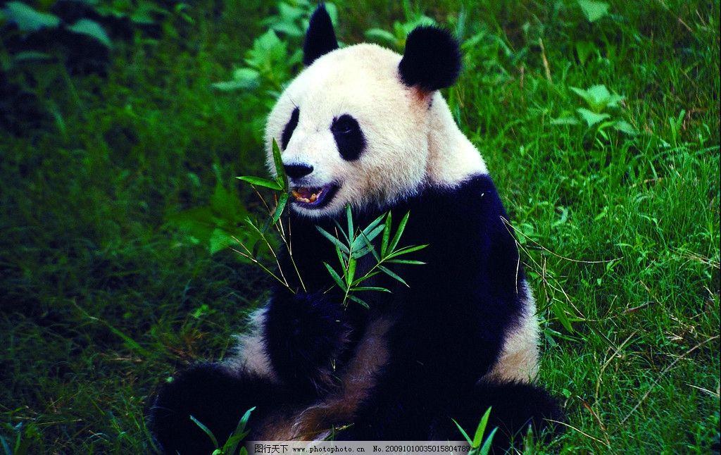 大熊猫 动物 国宝 稀有动物 食草动物 竹子 大自然 野生动物 生物世界