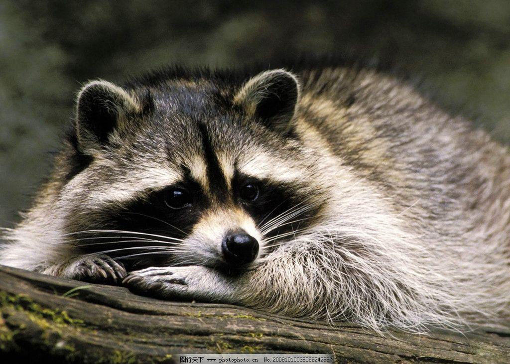 小浣熊 浣熊 小熊猫 野生动物 动物世界 猫科动物 生物世界 摄影 350