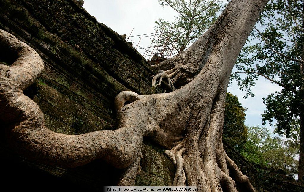 绞杀榕 大树 树木 树叶 树根 特写 底纹 绿叶 绿色 摄影图库