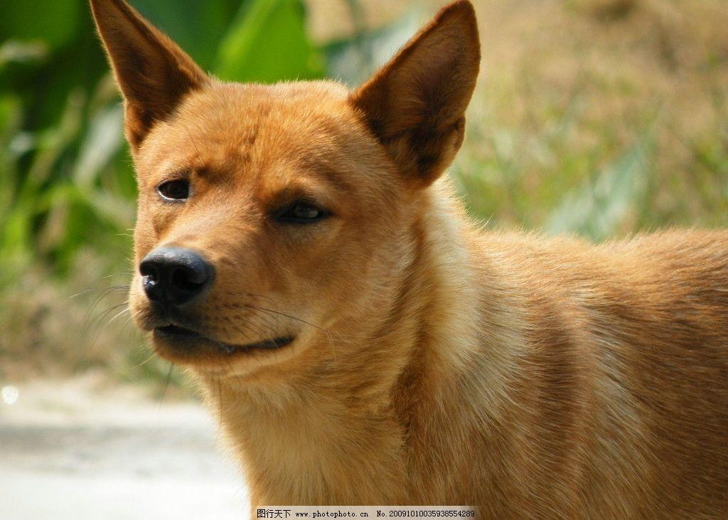 小黄狗 摄影 户外 生物 动物 乡间 犬 家狗 警惕 可爱 光溜