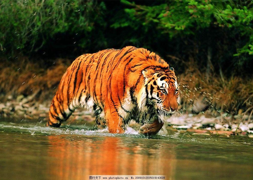 老虎 野生 动物 摄影 野生动物 生物世界
