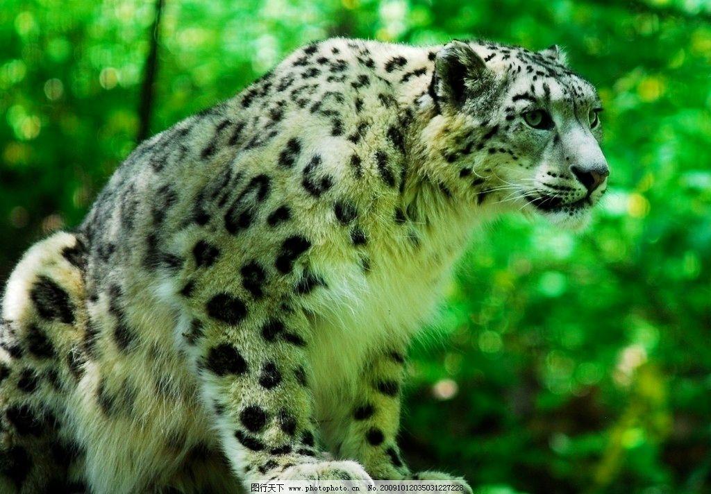 雪豹 高清 特写 动物摄影 野生动物 生物世界