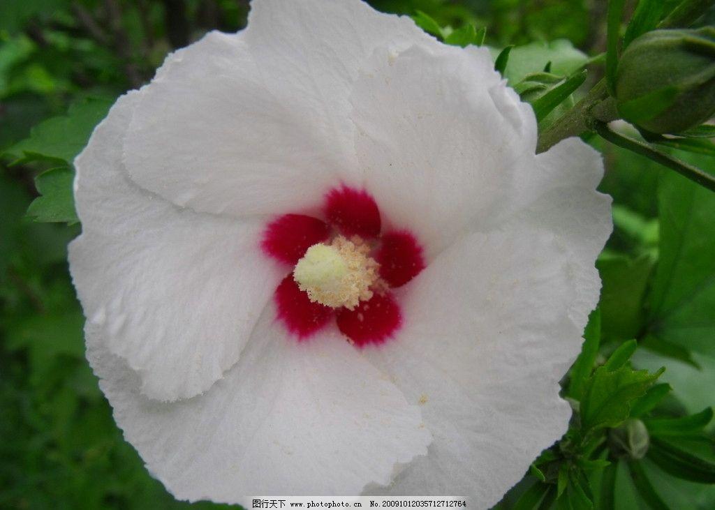 白色木槿花图片