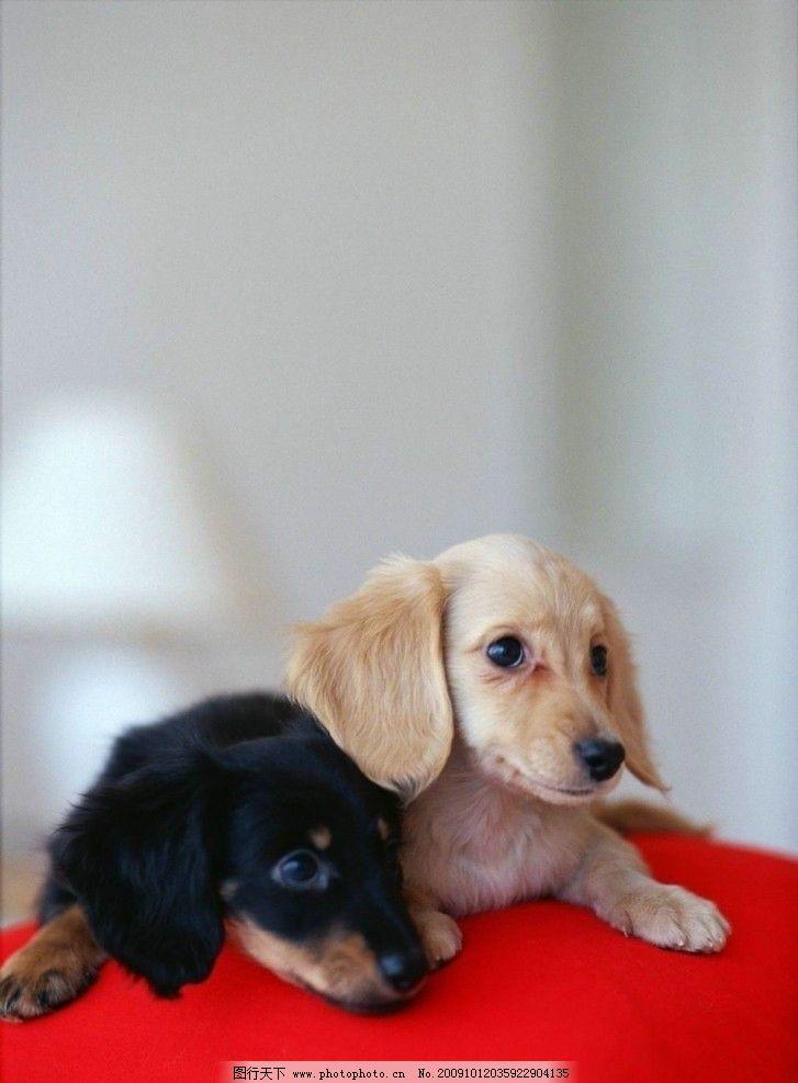 可爱小狗 小狗 动物 最忠实的朋友 家禽家畜 生物世界 摄影 72dpi jpg