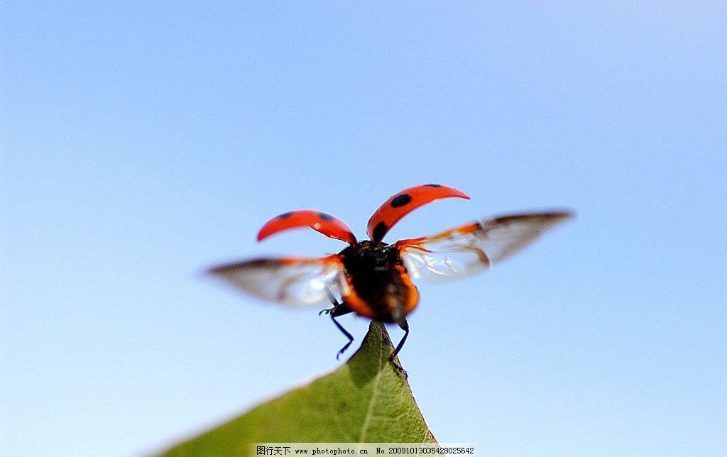 瓢虫 生物 七星瓢虫 九星瓢虫 绿叶 小生命 摄影图库图片