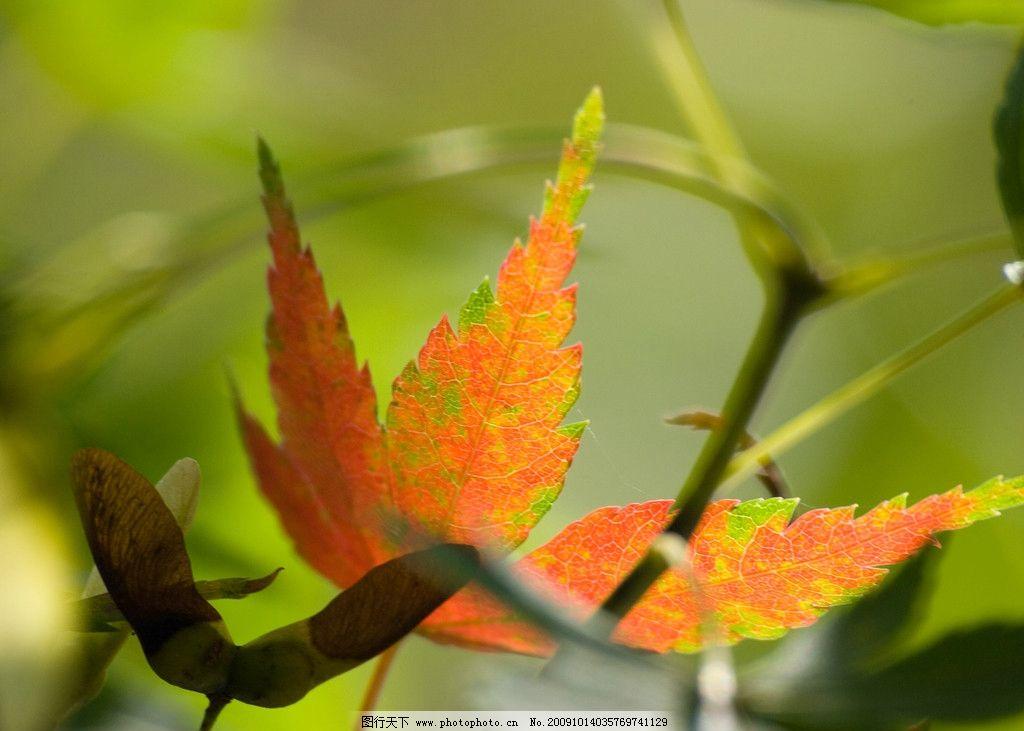 枫叶 树叶 植物 绿叶 叶子 特写 秋 绿色 红叶 背景 花草图片