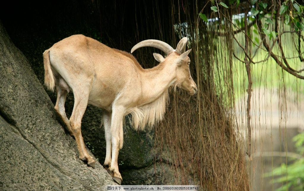 山羊 动物世界 野生 重量级 户外摄影 动物表情 山羊角 森林
