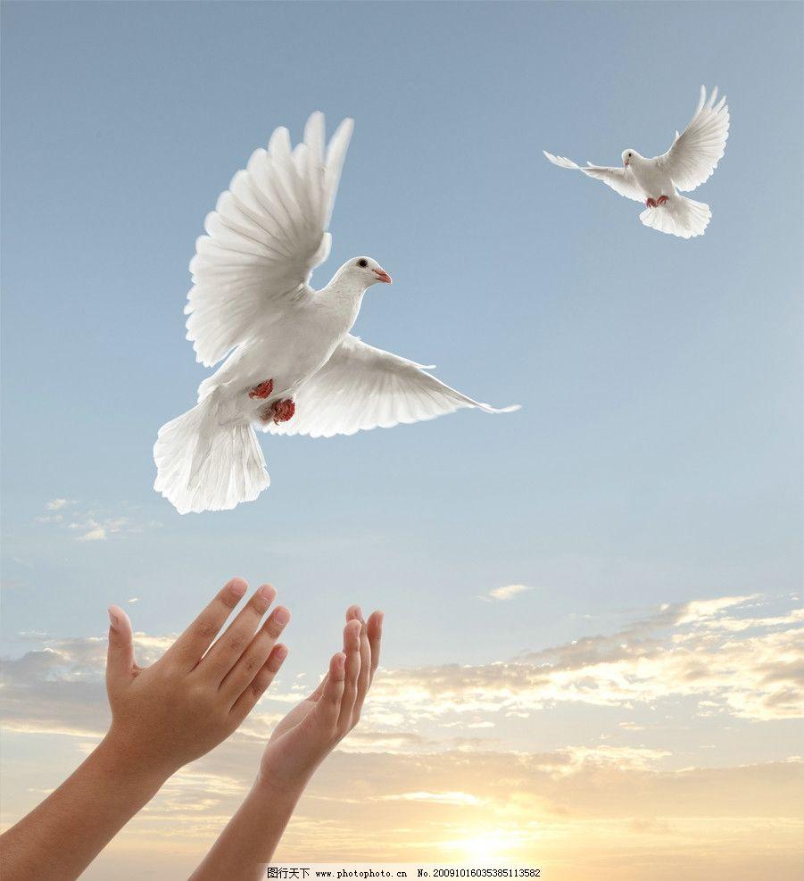 两只白鸽 鸽子 和平鸽 双手 太阳 阳光 白云 晚霞 和平象征 天空