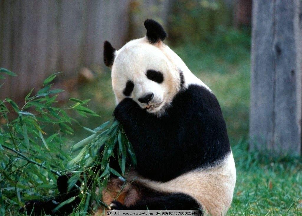 熊猫 国宝 竹叶 野生动物 生物世界 摄影 300dpi jpg