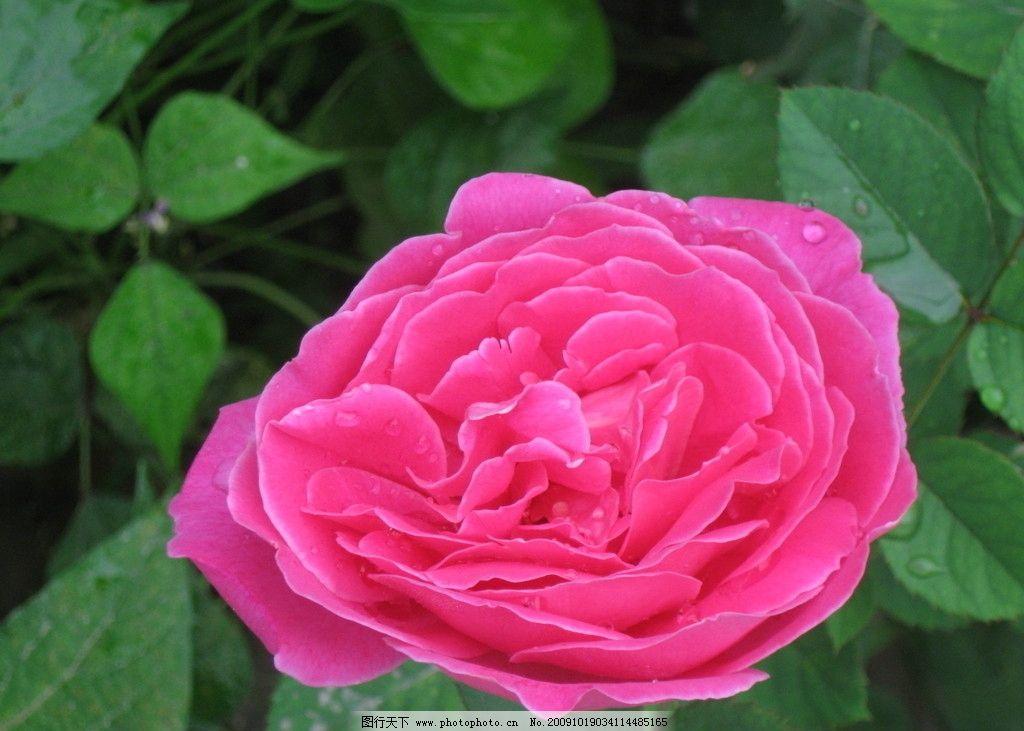 鲜花 花 红花 绿叶 水珠 自然风景 旅游摄影 摄影 180dpi jpg