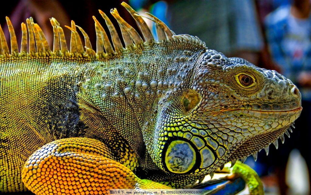 鬣蜥 蜥蜴 爬行动物 彩色 动物星球 摄影