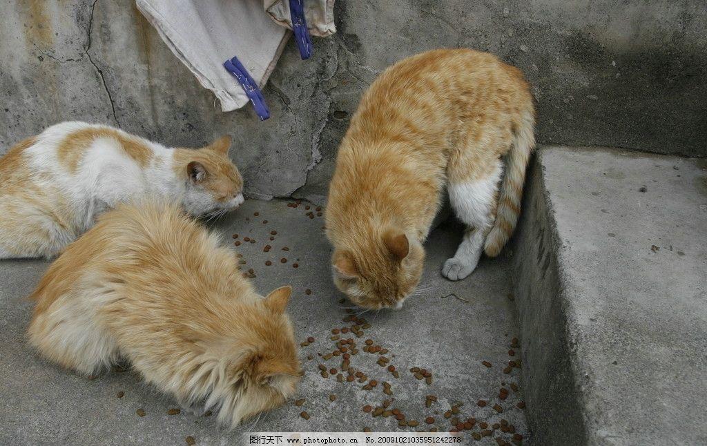 小猫吃食 农家大院里的小动物 摄影