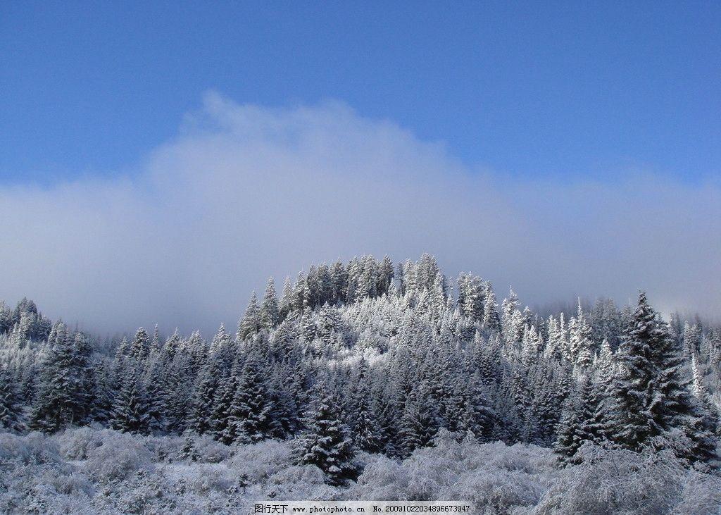 雪松 蓝天 白云 白雪 松树 白茫茫 自然风景 自然景观 摄影 72dpi jpg
