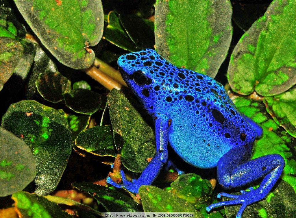 天蓝丛蛙 丛蛙 蓝蛙 蛙类 蛙 两栖类 爬行动物 2591×2002px 300d