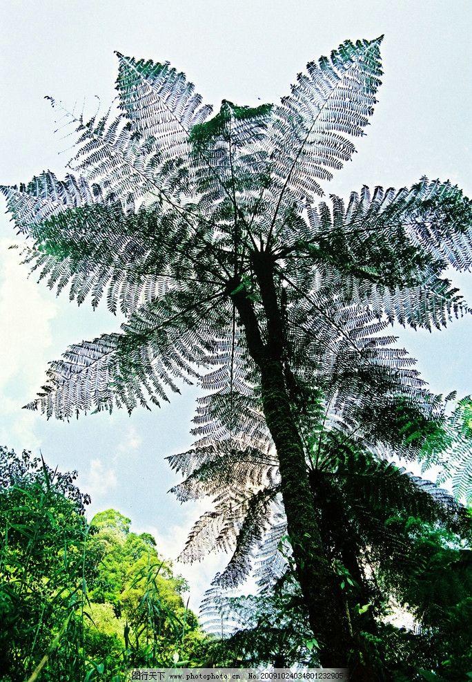 双头桫椤 桫椤 植物 绿色 背景 泸州风景区 自然风景 自然景观 摄影