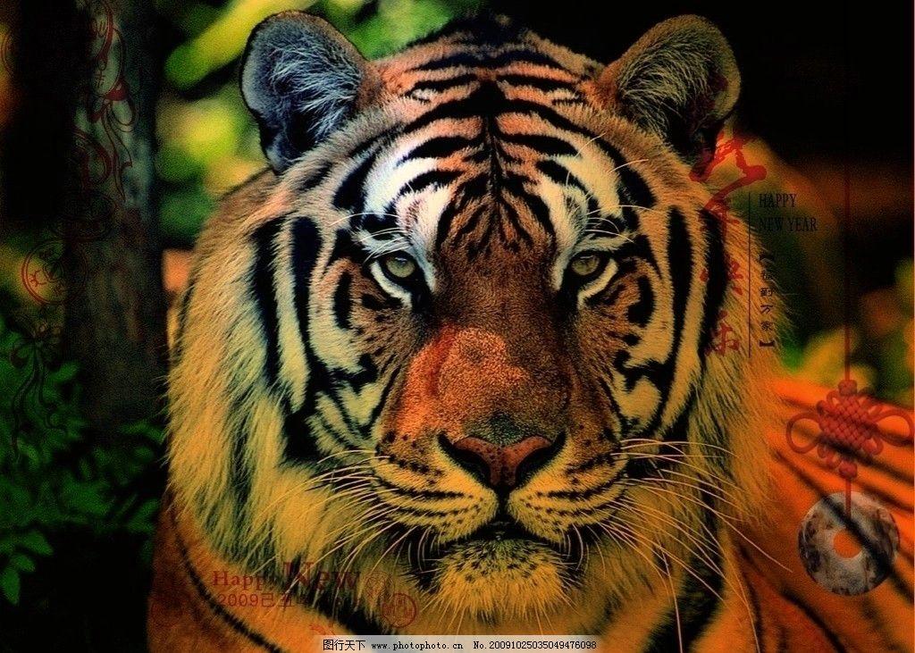 威虎迎新年 野生动物