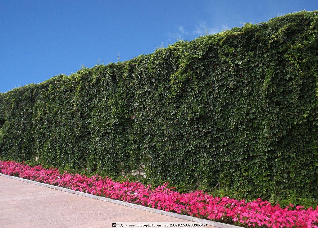 满墙爬山虎 爬山虎 城墙 围墙 高墙 墙壁 道路 红花 路边的野花 蓝天