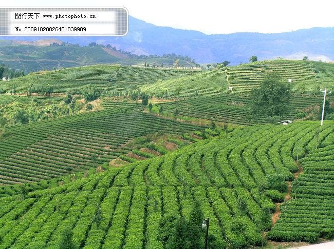 万亩茶园免费下载 普洱 云南旅游 云南旅游 普洱 万亩茶园 图片素材