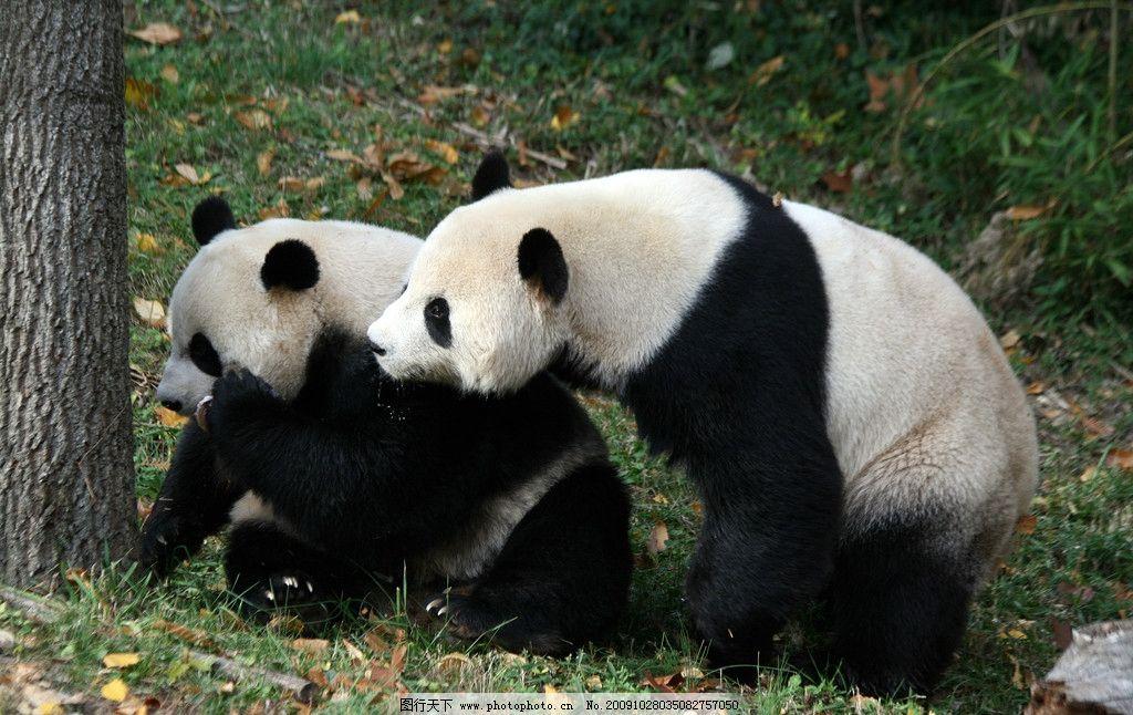 熊猫 野生动物 生物世界