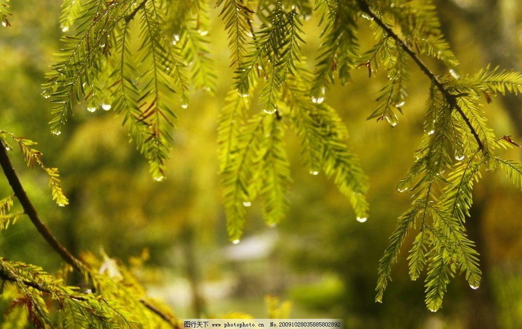 叶子露珠 树木树叶 杉树 大雨 生物世界 摄影 72dpi jpg