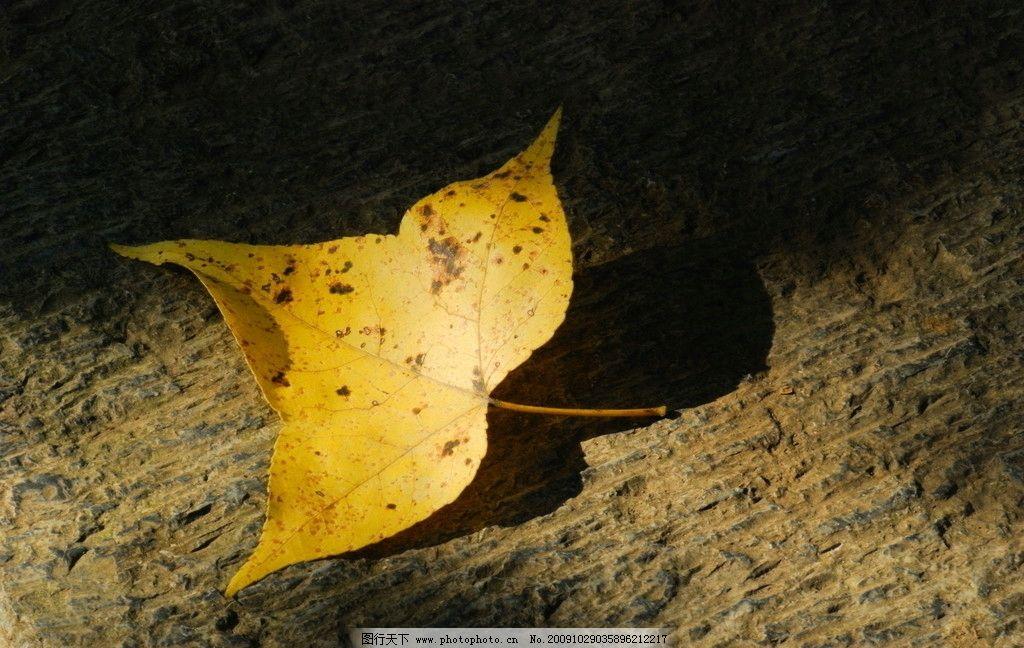 秋天的树叶 银杏树叶 深秋树叶 黄色的树叶 爱在深秋 摄影