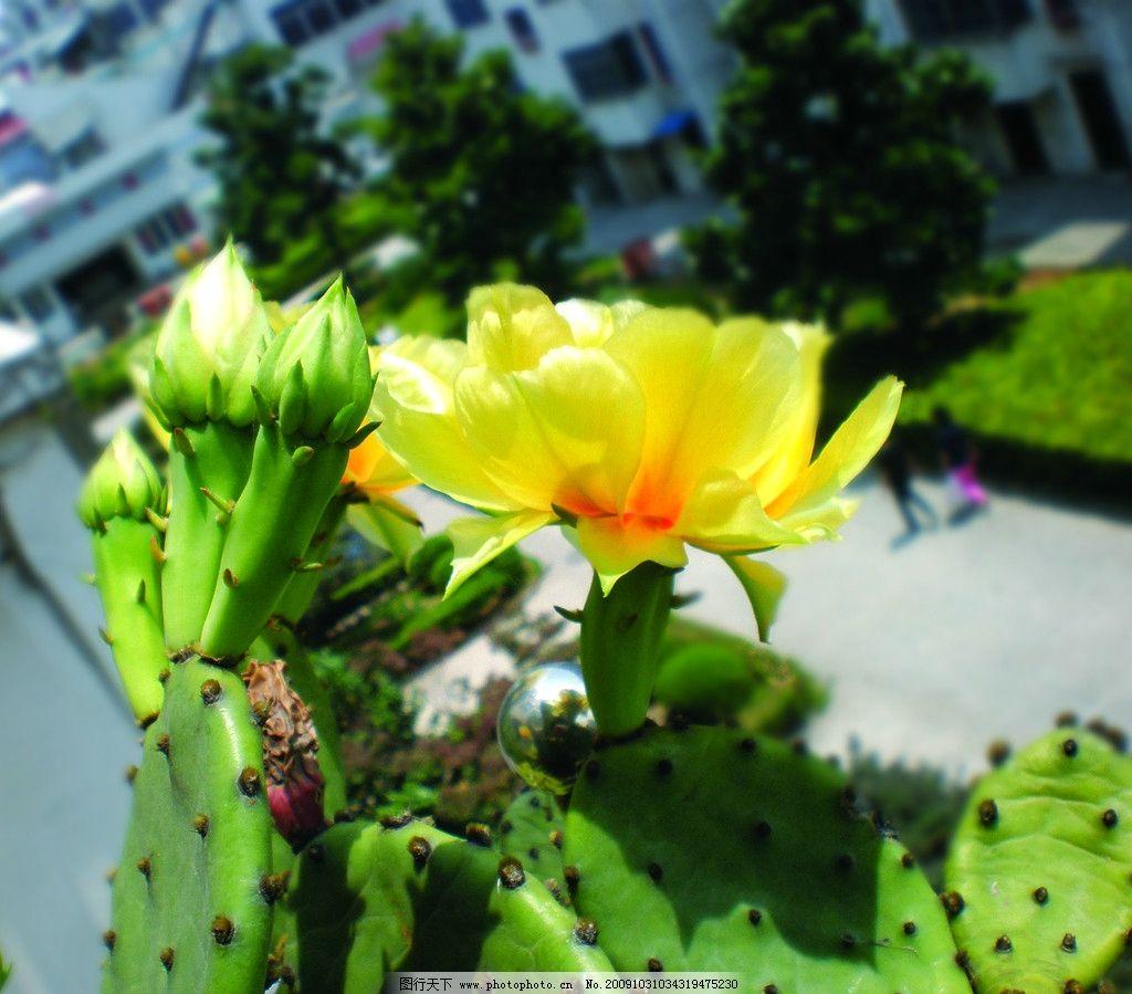 仙人掌 花朵 花骨朵 绿色 生机盎然 新鲜 风景 旅游摄影 摄影