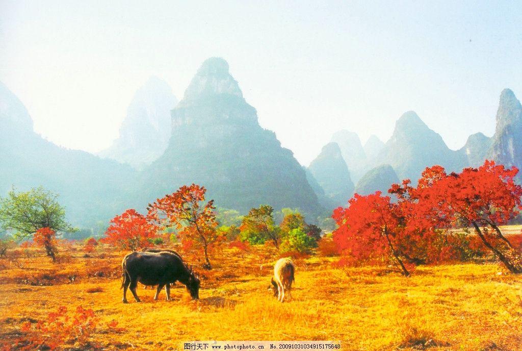 螺丝山牧牛 牛 桂林风景 桂林山水 秋色 摄影作品 其他 自然景观 摄影