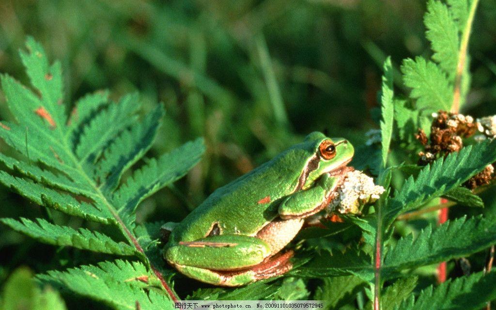 青蛙 动物 野生动物 生物世界 摄影 300dpi jpg