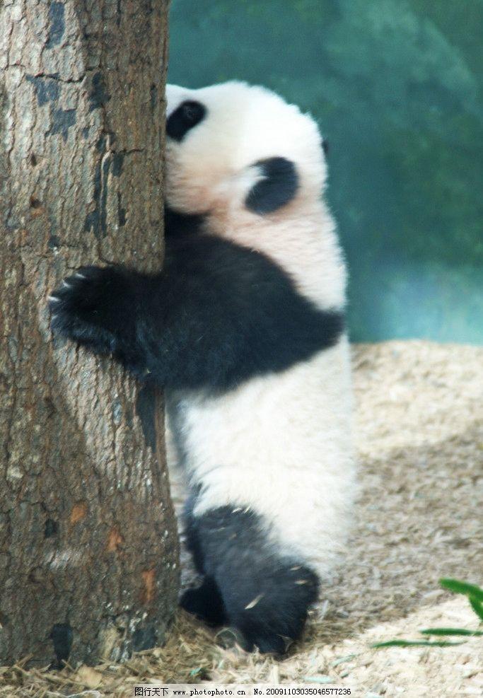 熊猫 野生动物 生物世界 摄影 72dpi jpg