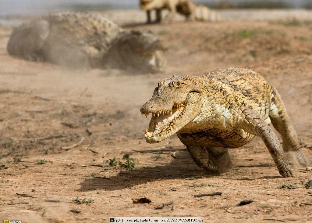 奔跑中的鳄鱼图片