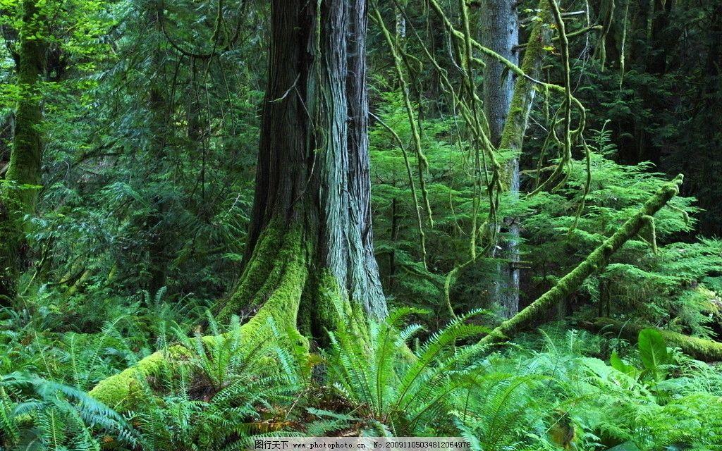 森林 原始森林 植被 植物 丛林 大树 自然风景 自然景观 摄影 72dpi