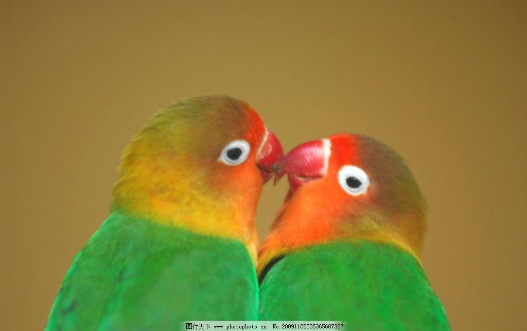 亲嘴嘴 鹦鹉 爱人 亲爱的 接吻 爱情 浪漫 可爱 鸟儿 温馨