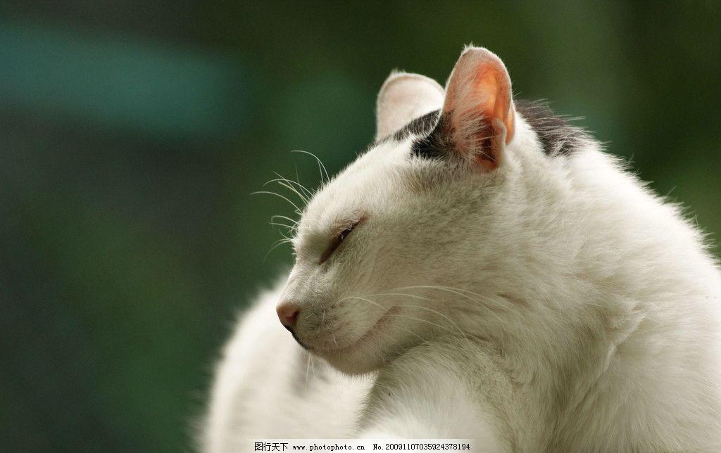 小猫 花猫 可爱 黑白相间的猫 猫的特写 眼神 眯眼 趴着 花脸