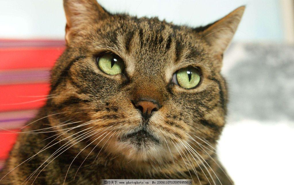 小猫 猫 花猫 猫头 可爱 黑黄相间的猫 猫的特写 眼神 注视 摄影 家禽