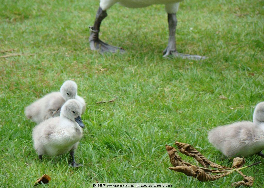 小鹅 鹅 可爱 毛绒绒 野外 灰色的小鹅 绿草 草地里散步 摄影 家禽