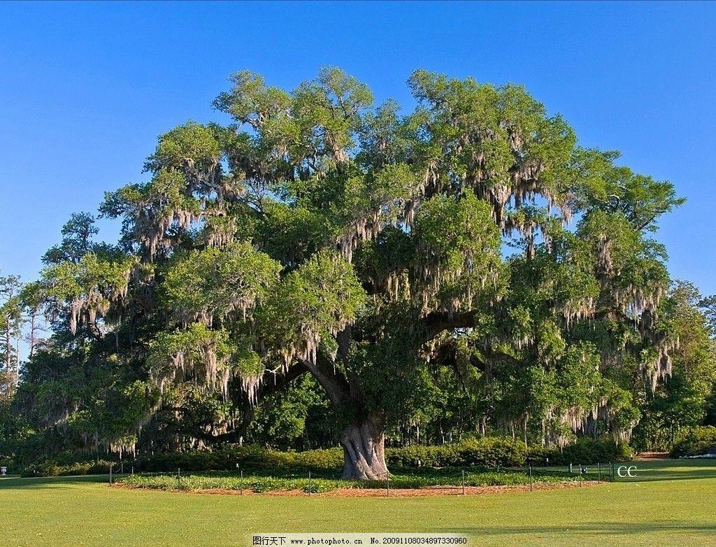 大树 树木 树林 植物 森林 植被 自然风景 自然景观 摄影