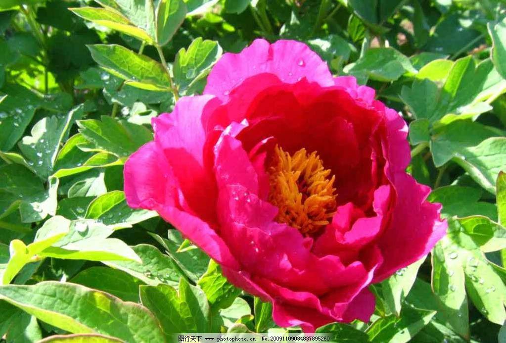 牡丹 牡丹花 洛陽仙子 自然風景 自然景觀 攝影 180dpi jpg