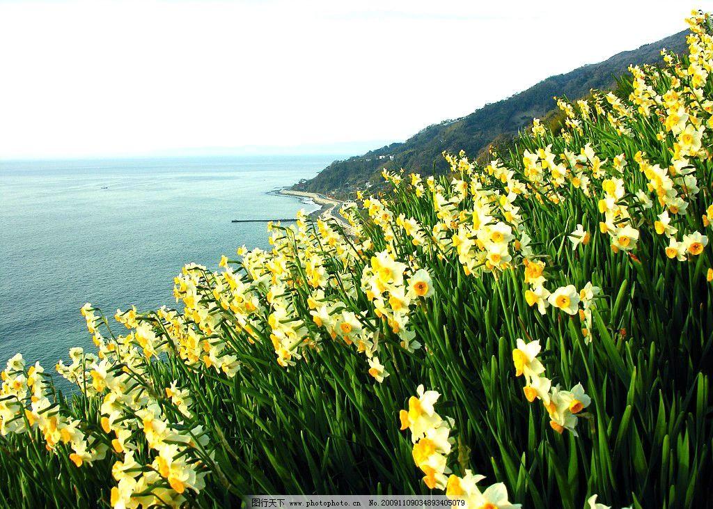 水仙 水仙花 凌波仙子 金盏银盘 花 海 大海 花群 自然风景 自然景观