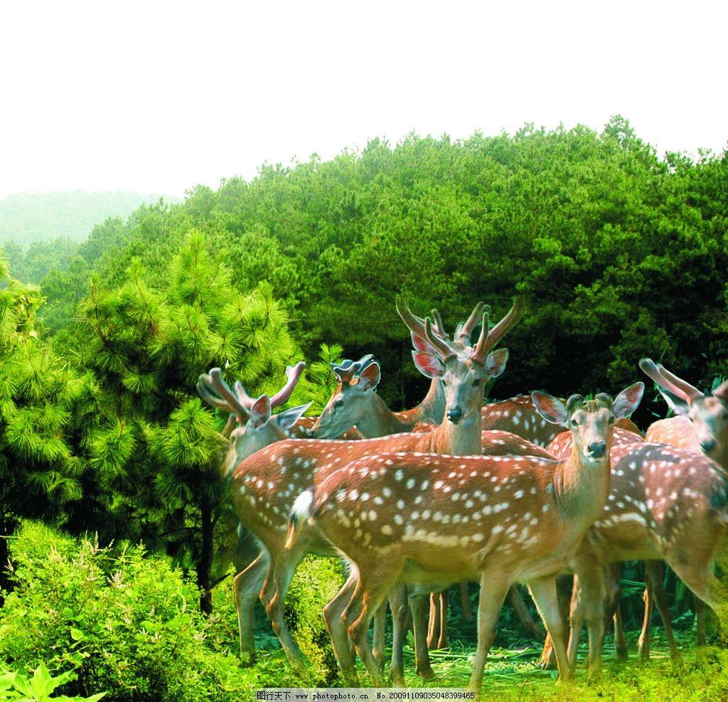 梅花鹿 山上风景 群鹿 野生动物 生物世界 摄影 80dpi jpg