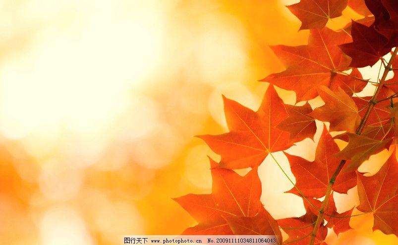 设计图库 动漫卡通 动漫人物  枫叶 秋天 高清秋天树叶图片 秋天落叶