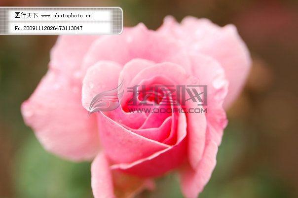 粉色 花 漂亮 月季 粉色 月季 大月季 花 漂亮 图片素材 风景|生活